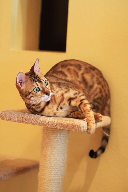фото: Бенгальская порода кошек