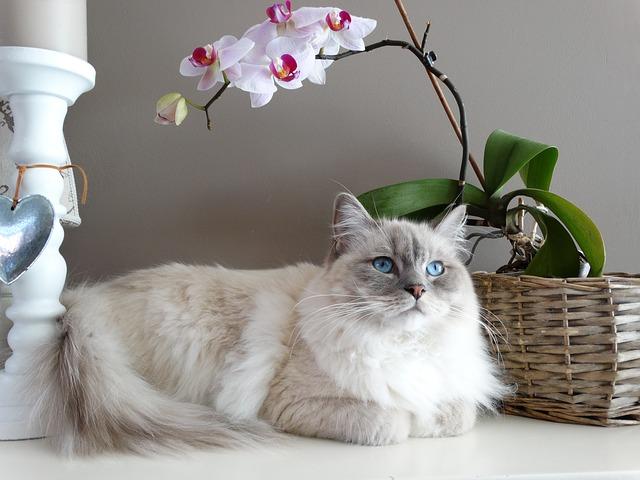 фото: порода кошек Рэгдолл