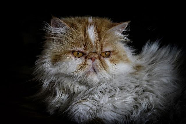 фото: Персидская кошка
