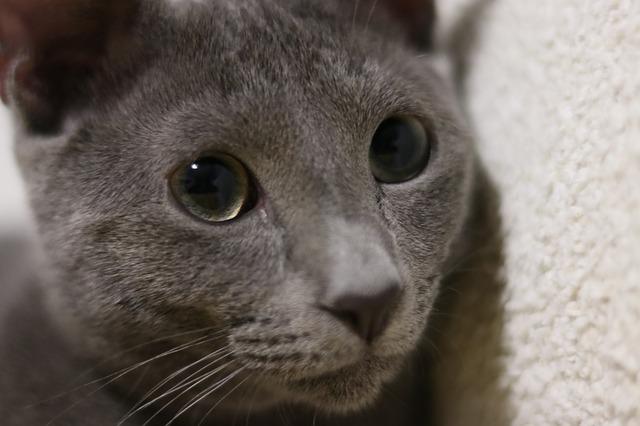 фото: Русская голубая кошка