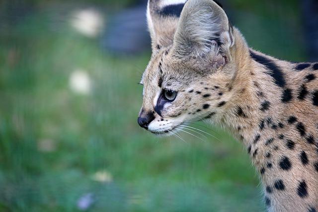 фото: Порода кошек Сервал