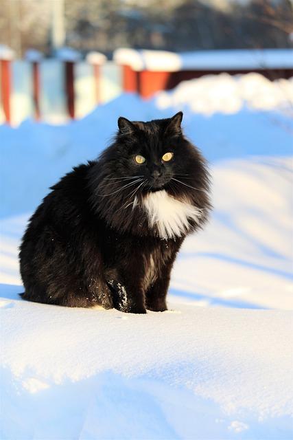 фото: Сибирская порода кошек