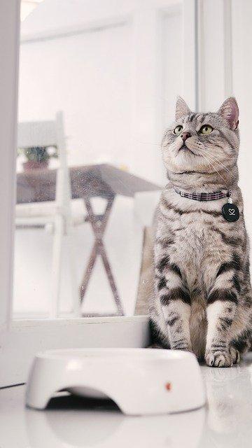 фото: Американская короткошерстная кошка