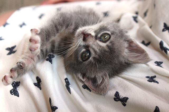 фото: порода кошек Шартрез