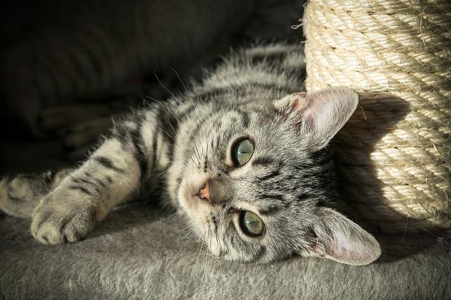 фото: Британская короткошерстная кошка