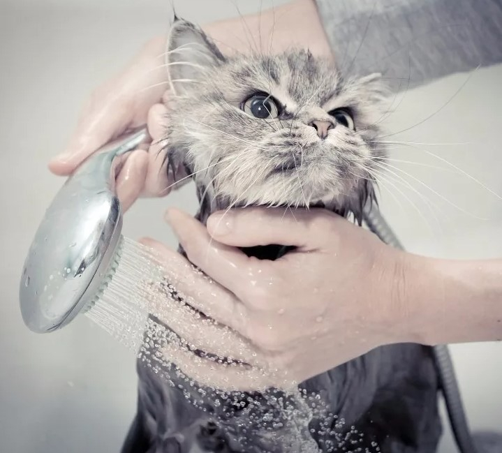 Как часто купать кошку?