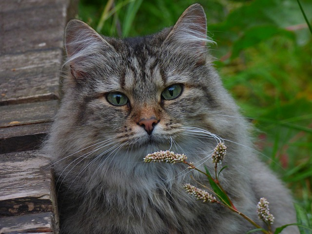 Норвежская лесная кошка