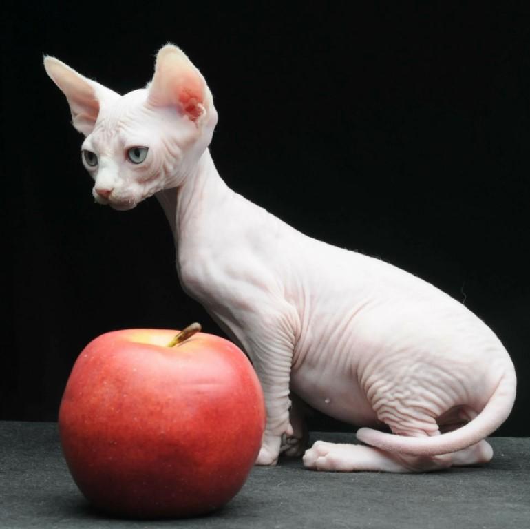 фото: порода кошек Бамбино