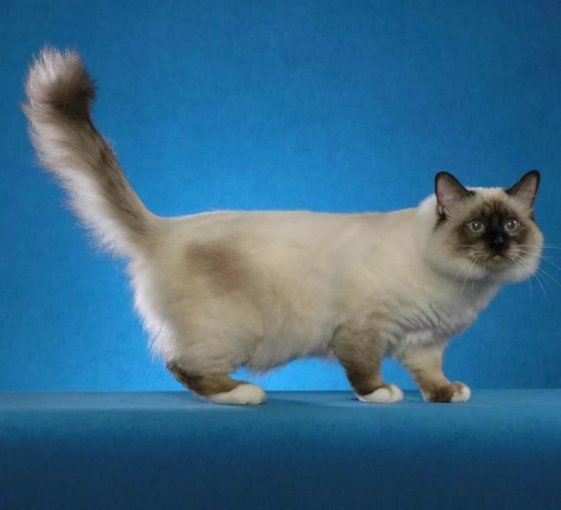 фото: Бирманская кошка