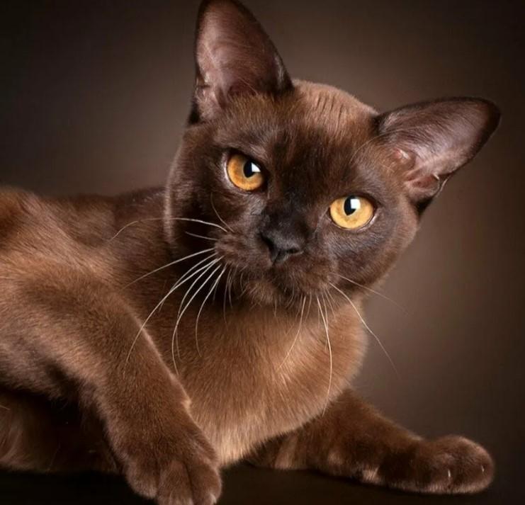 фото: Бурманская порода кошек