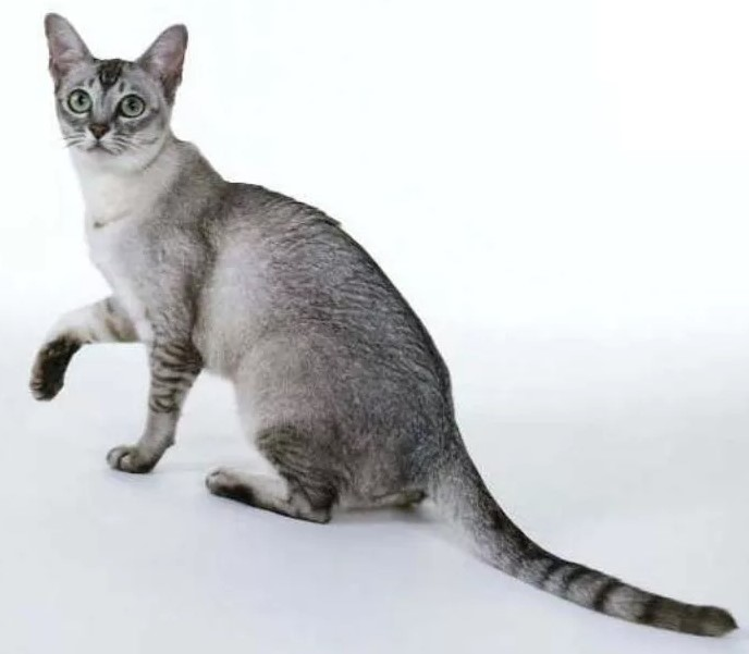 фото: кошка породы Бурмилла