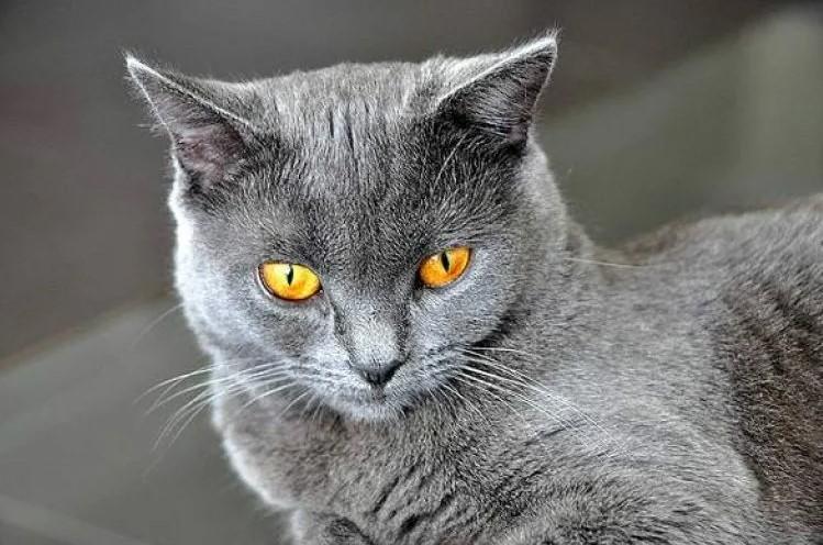 фото: Картезианская кошка