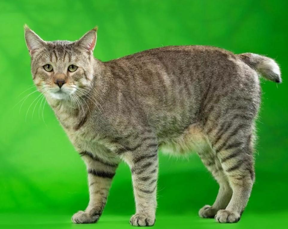фото: порода кошек Пиксибоб