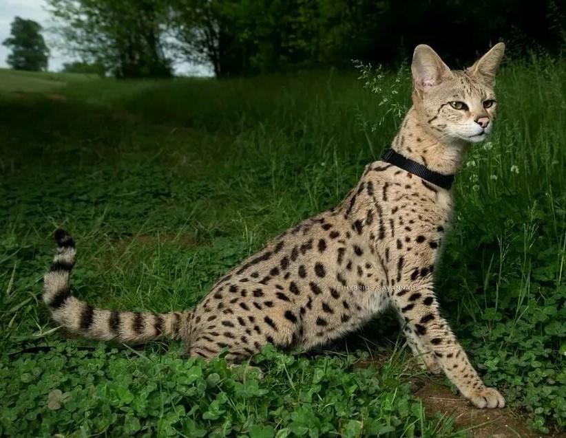 Фото: Порода кошек Саванна