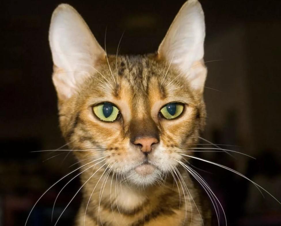 фото: Порода кошек Серенгети