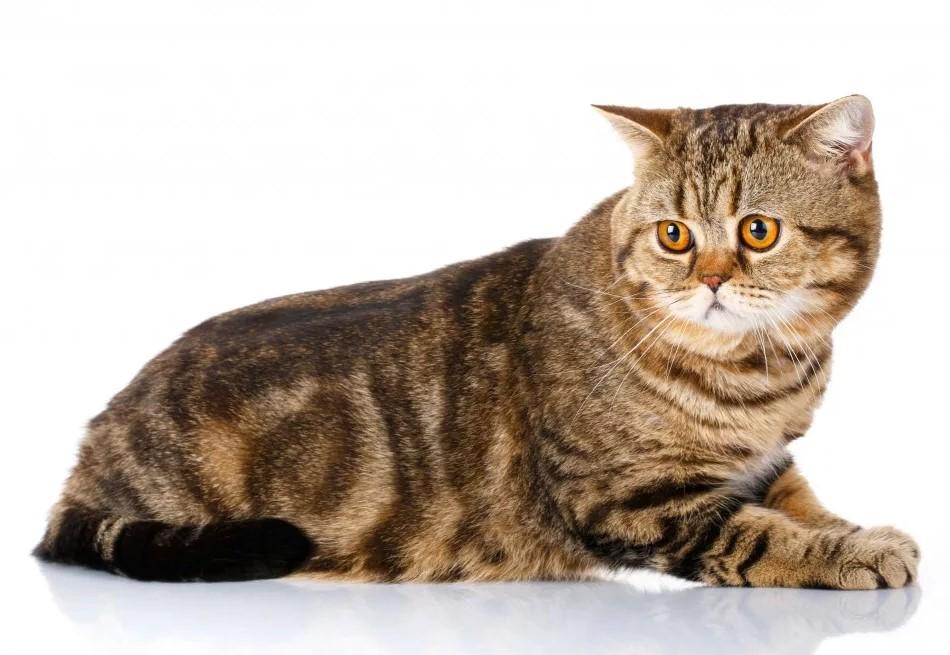 фото: Шотландская прямоухая кошка