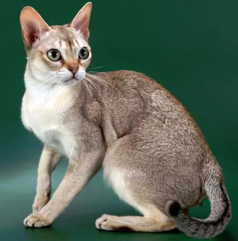 фото: Сингапурская кошка