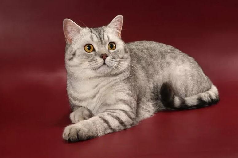 фото: порода кошек Скоттиш-страйт