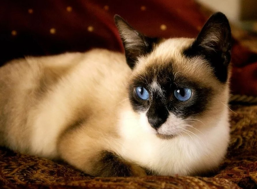 фото: Порода кошек Сноу-шу