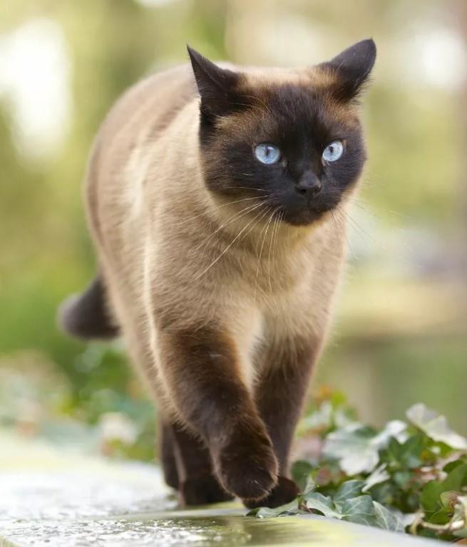 фото: Тайская порода кошек