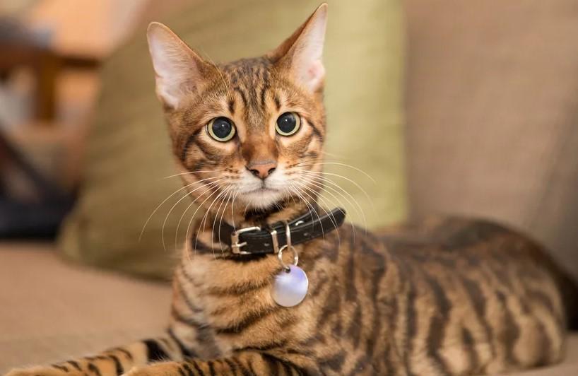 фото: порода кошек Тойгер