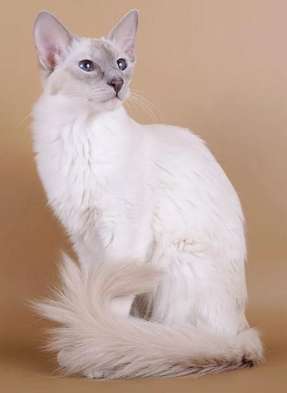 фото: Яванская кошка