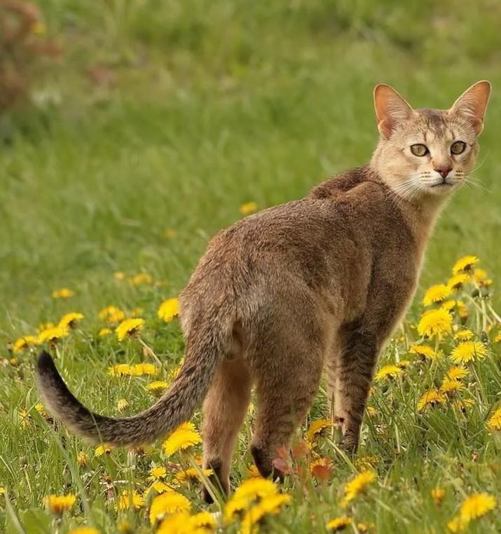 фото: Камышовый кот