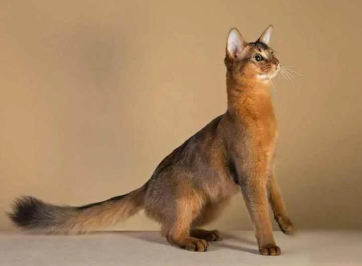 фото: Сомалийская кошка