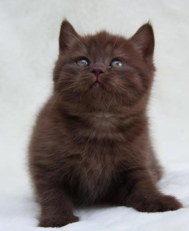 фото: Йоркская шоколадная кошка