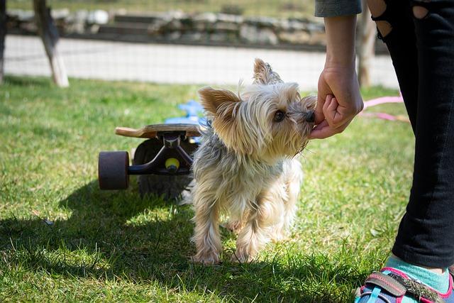 фото: Йоркширский терьер