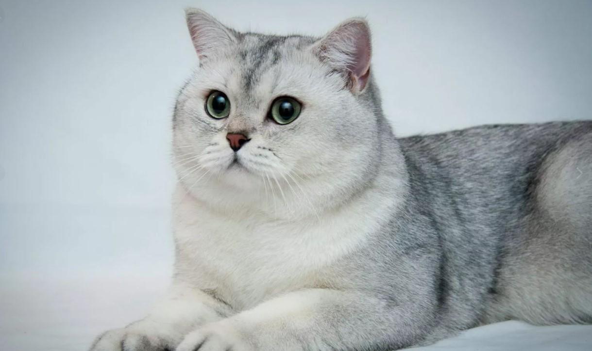 фото: порода кошек Шиншилла
