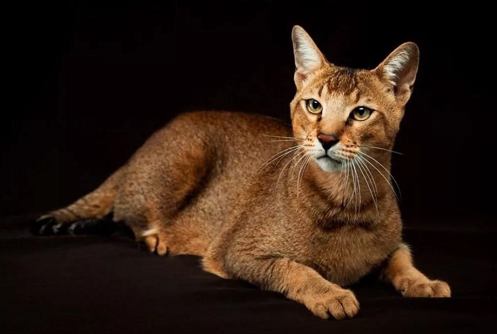 фото: Порода кошек Чаузи