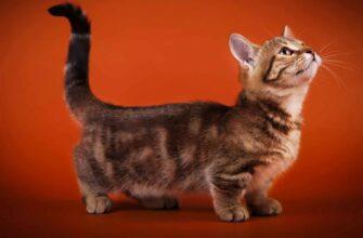 фото: Порода кошек Манчкин