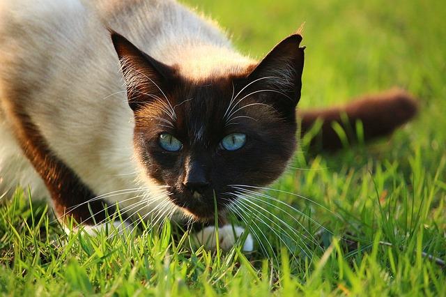 фото: Сиамская порода кошек