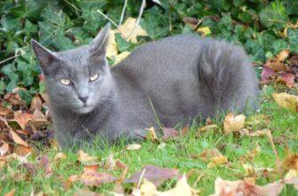 фото: порода кошек Корат