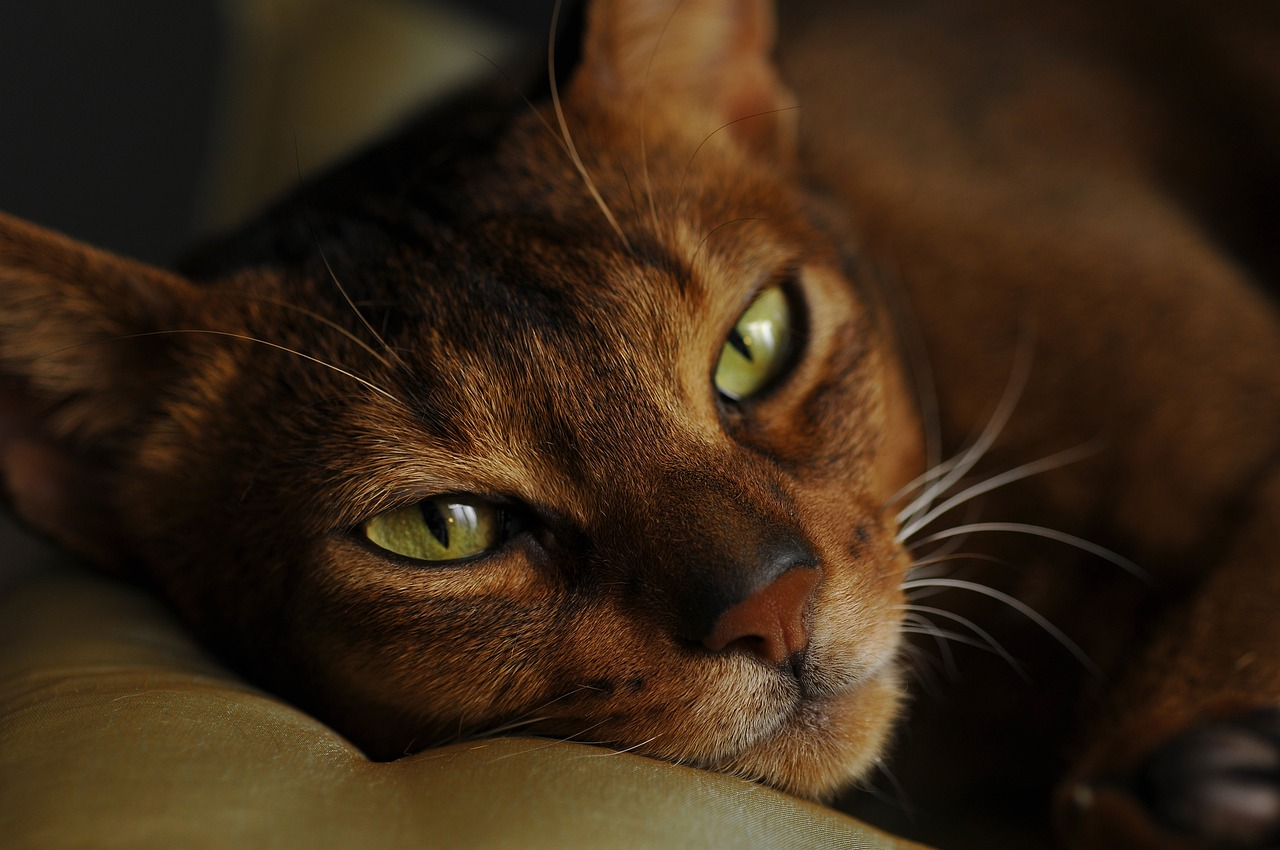 фото: Абиссинская кошка