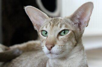 фото: Ориентальная кошка